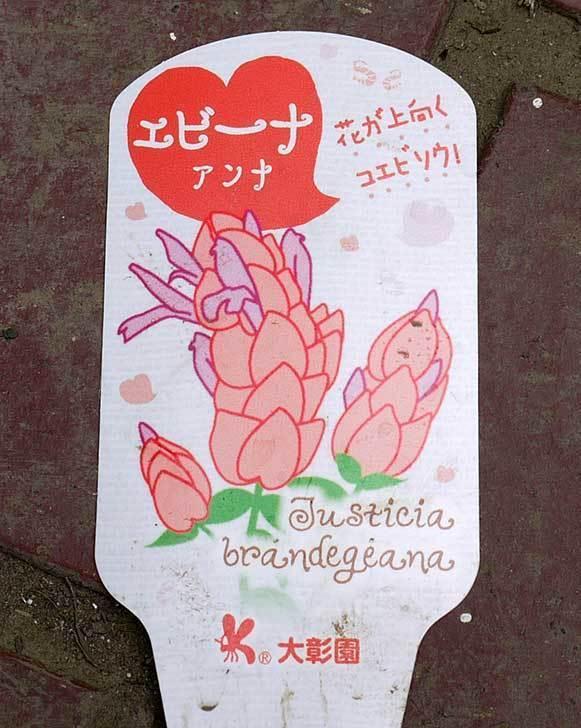 エビーナアンナ-ベロペロネ(コエビソウ)がホームズで300円だったので買って来た3.jpg