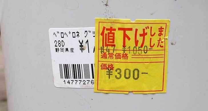 エビーナアンナ-ベロペロネ(コエビソウ)がホームズで300円だったので買って来た5.jpg