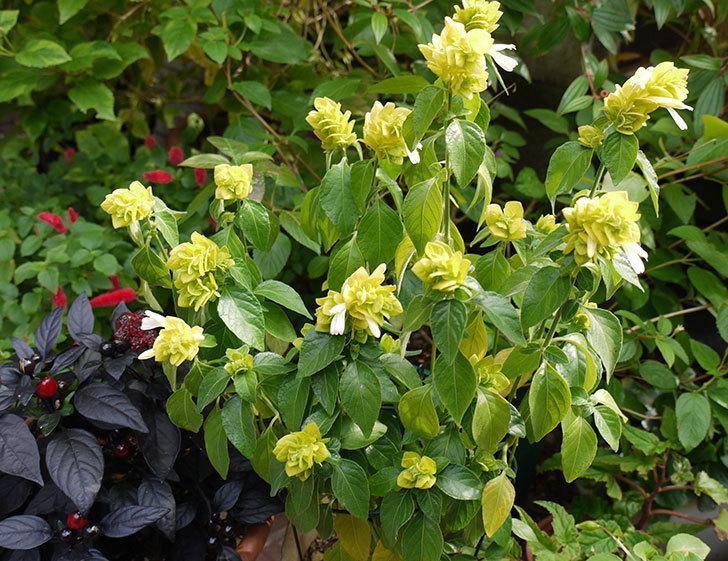 エビーナアンナ-ベロペロネ(コエビソウ)が綺麗に咲いた。2015年-1.jpg