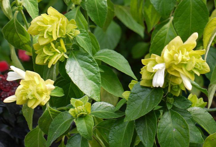 エビーナアンナ-ベロペロネ(コエビソウ)が綺麗に咲いた。2015年-2.jpg