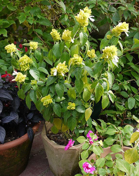 エビーナアンナ-ベロペロネ(コエビソウ)が綺麗に咲いた。2015年-3.jpg
