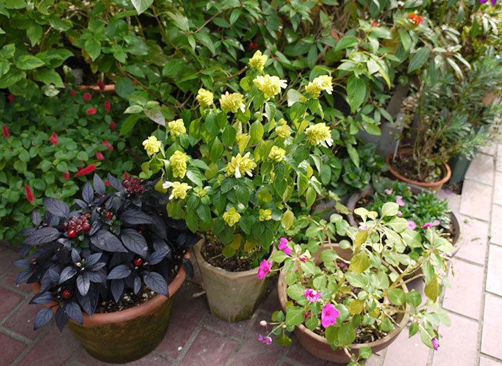 エビーナアンナ-ベロペロネ(コエビソウ)が綺麗に咲いた。2015年-4.jpg