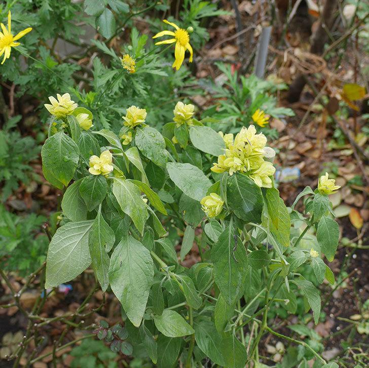 エビーナアンナ-ベロペロネ(コエビソウ)の花がたくさん咲いた。2020年-1.jpg