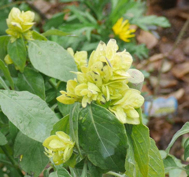 エビーナアンナ-ベロペロネ(コエビソウ)の花がたくさん咲いた。2020年-2.jpg