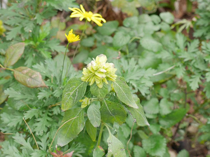 エビーナアンナ-ベロペロネ(コエビソウ)の花が咲いた。2019年-3.jpg