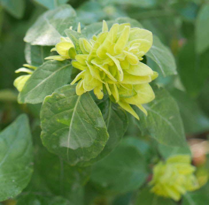 エビーナアンナ-ベロペロネ(コエビソウ)の花が咲いた。2020年-1.jpg