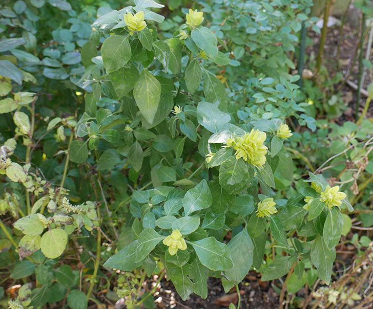 エビーナアンナ-ベロペロネ(コエビソウ)の花が咲いた。2020年-2.jpg