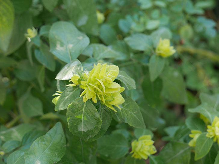 エビーナアンナ-ベロペロネ(コエビソウ)の花が咲いた。2020年-3.jpg