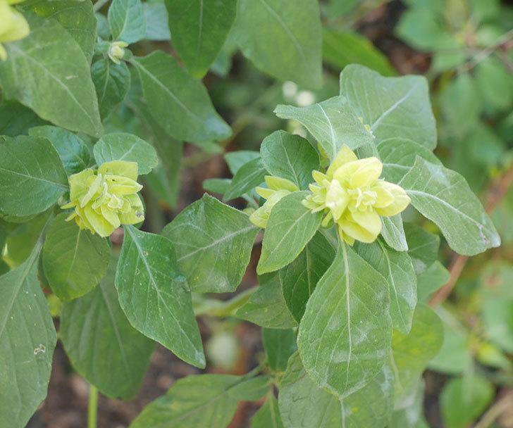 エビーナアンナ-ベロペロネ(コエビソウ)の花が咲いた。2020年-4.jpg