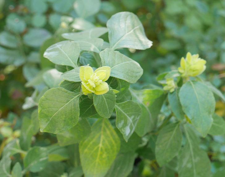 エビーナアンナ-ベロペロネ(コエビソウ)の花が咲いた。2020年-5.jpg