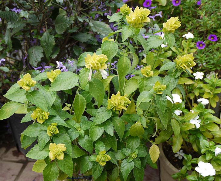 エビーナアンナ-ベロペロネ(コエビソウ)の花が咲き出した。2015年-1.jpg