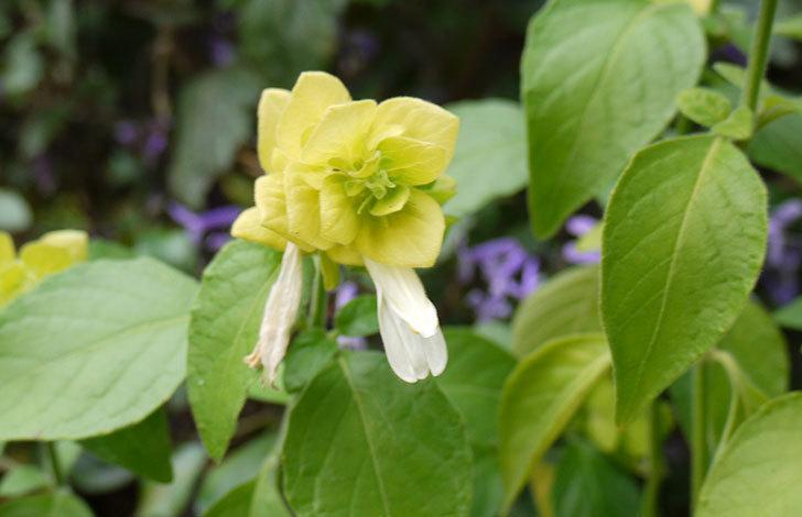 エビーナアンナ-ベロペロネ(コエビソウ)の花が咲き出した。2015年-2.jpg