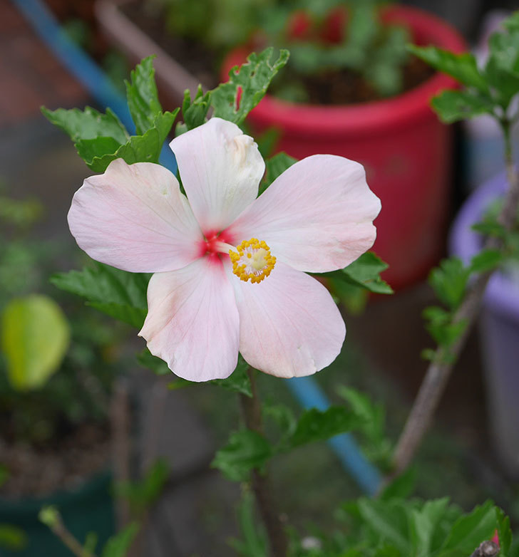 エラブの春に今年最初の花が咲いた。2019年-1.jpg