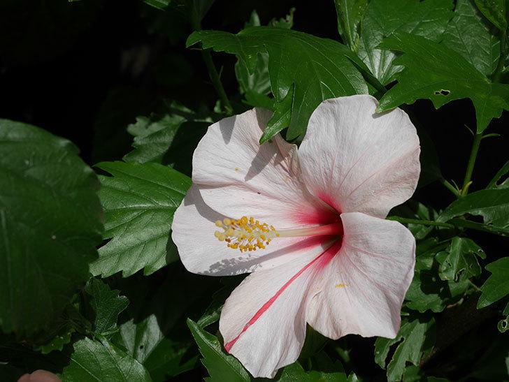 エラブの春に今年最初の花が咲いた。2020年-006.jpg
