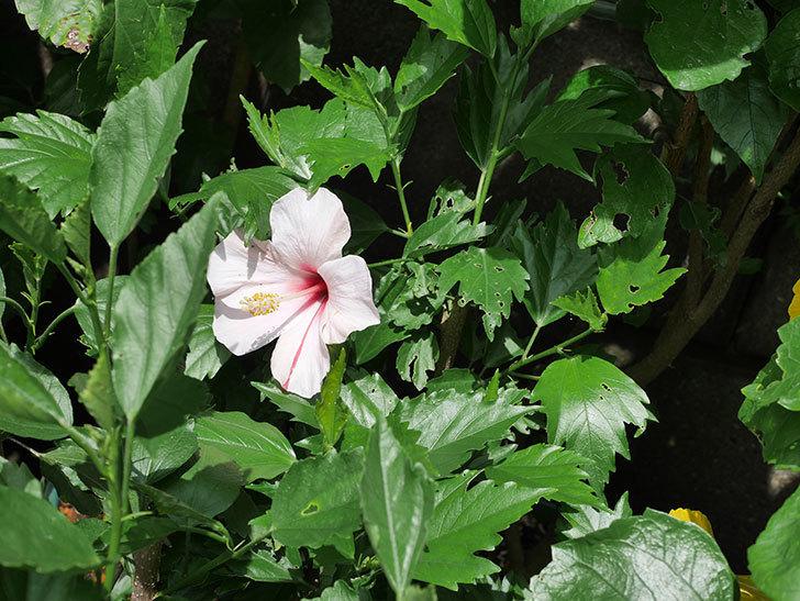 エラブの春に今年最初の花が咲いた。2020年-010.jpg