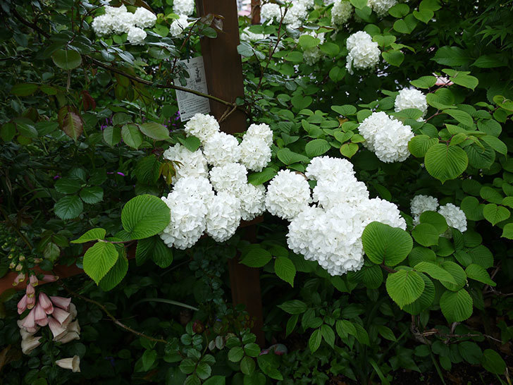 オオデマリ(大手鞠)がたくさん咲いた。2017年-2.jpg