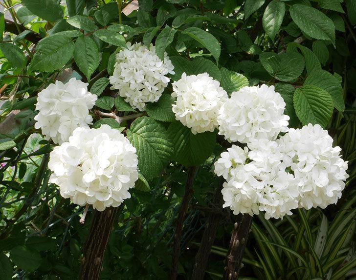 オオデマリ(大手鞠)がたくさん咲いた。2019年-1.jpg