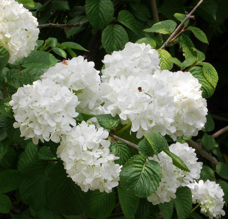 オオデマリ(大手鞠)がたくさん咲いた。2019年-3.jpg