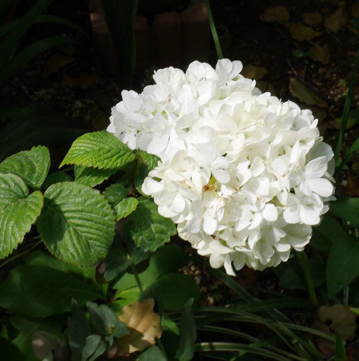 オオデマリ(大手鞠)がたくさん咲いた。2019年-4.jpg