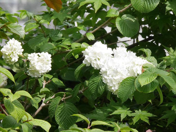 オオデマリ(大手鞠)がたくさん咲いた。2019年-5.jpg