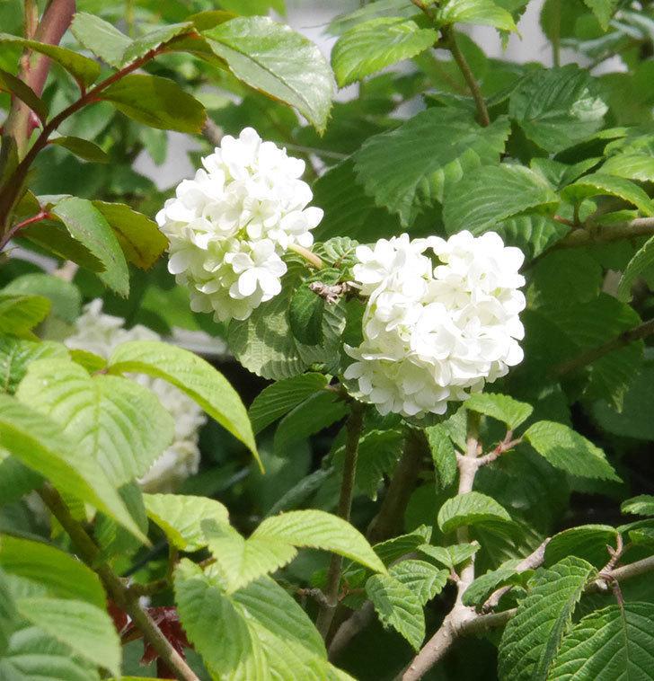 オオデマリ(大手鞠)がたくさん咲いた。2019年-6.jpg