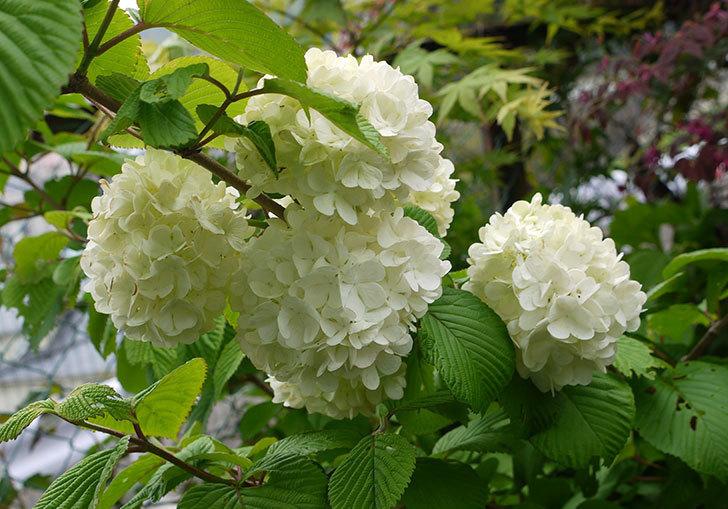 オオデマリ(大手鞠)が咲いた。2015年-1.jpg