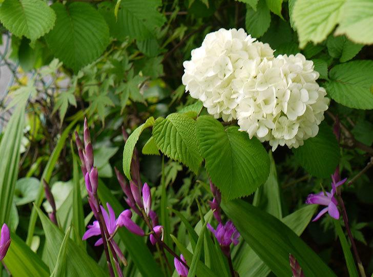 オオデマリ(大手鞠)が咲いた。2015年-5.jpg