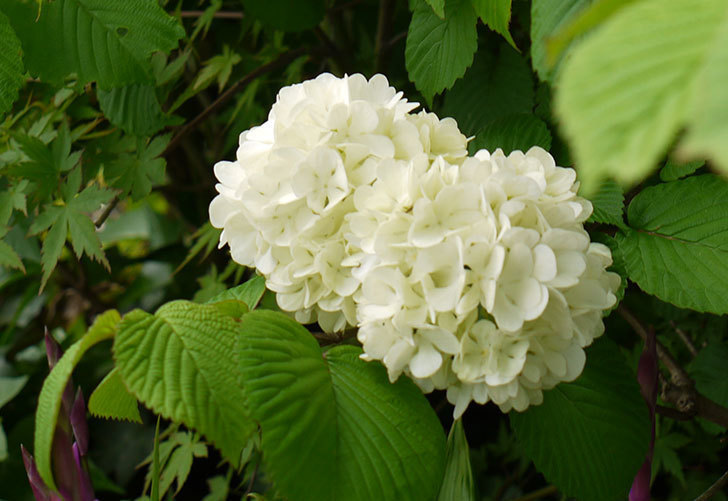 オオデマリ(大手鞠)が咲いた。2015年-6.jpg
