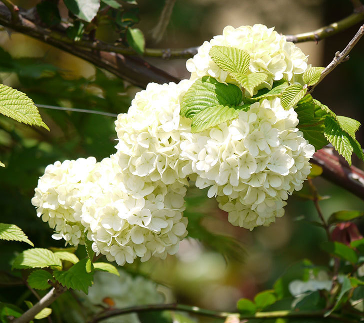 オオデマリ(大手鞠)が咲いた。2018年-10.jpg