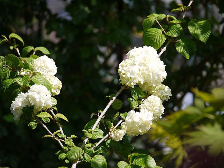 オオデマリ(大手鞠)が咲いた。2018年-11.jpg