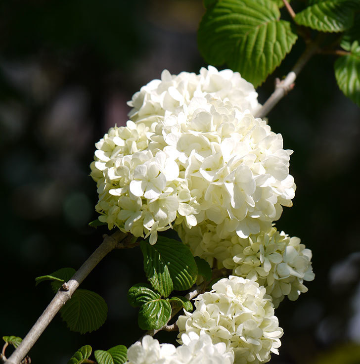 オオデマリ(大手鞠)が咲いた。2018年-12.jpg