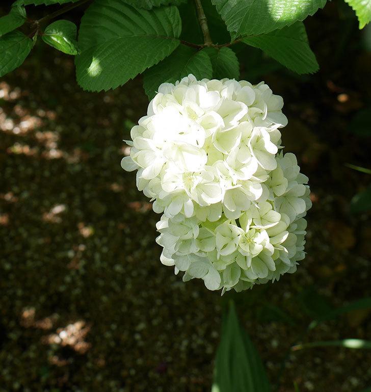 オオデマリ(大手鞠)が咲いた。2018年-2.jpg