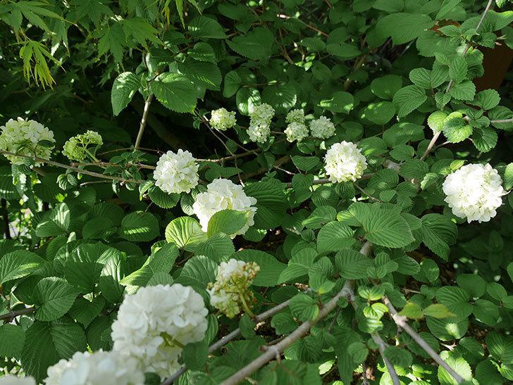 オオデマリ(大手鞠)が咲いた。2018年-3.jpg