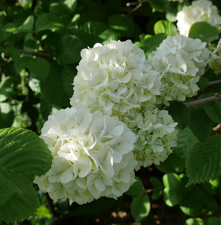 オオデマリ(大手鞠)が咲いた。2018年-4.jpg