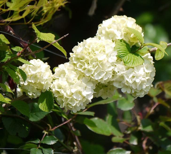 オオデマリ(大手鞠)が咲いた。2018年-8.jpg