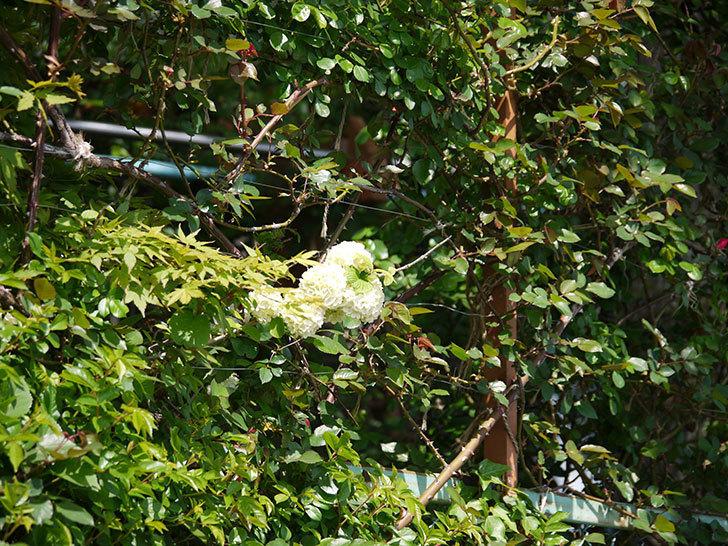 オオデマリ(大手鞠)が咲いた。2018年-9.jpg