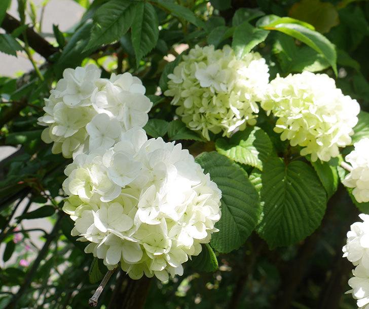 オオデマリ(大手鞠)が咲いた。2019年-2.jpg