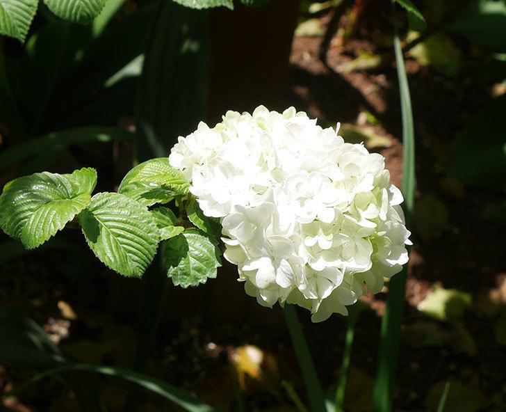 オオデマリ(大手鞠)が咲いた。2019年-3.jpg