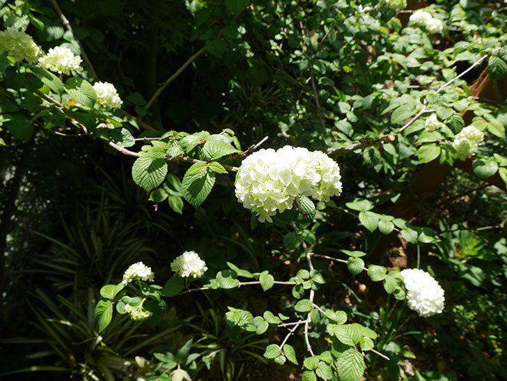 オオデマリ(大手鞠)が咲いた。2019年-4.jpg