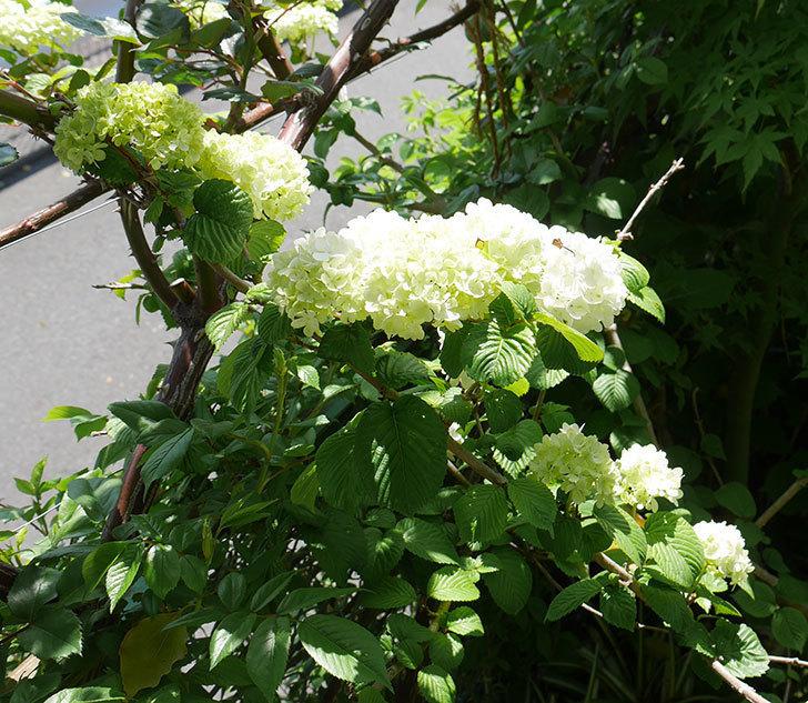 オオデマリ(大手鞠)が咲いた。2019年-5.jpg