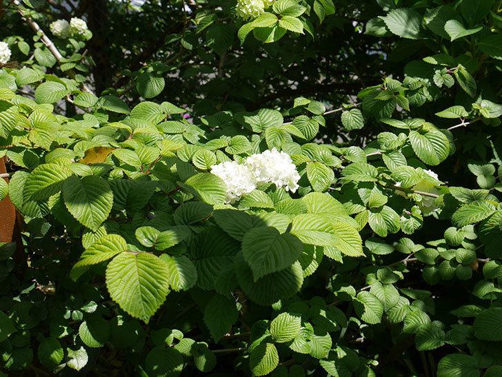 オオデマリ(大手鞠)が咲いた。2019年-6.jpg