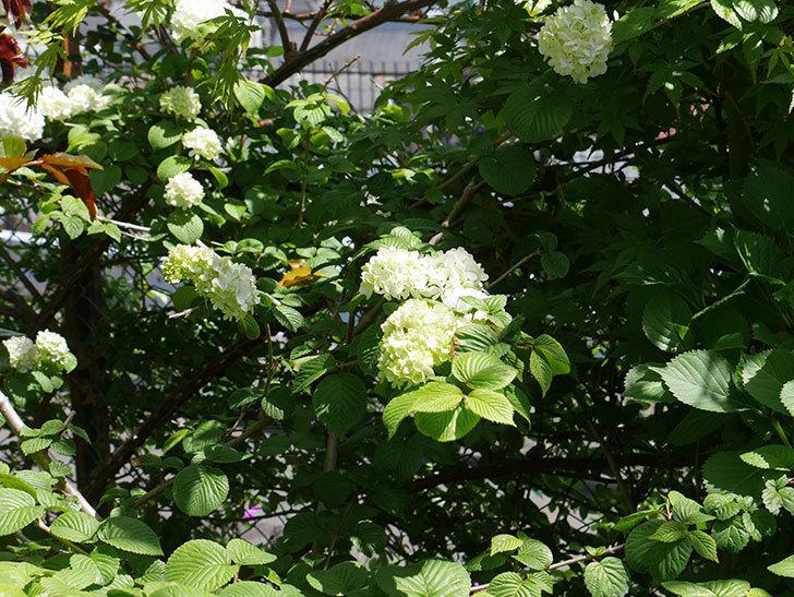 オオデマリ(大手鞠)が咲いた。2019年-7.jpg