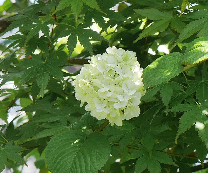 オオデマリ(大手鞠)が咲いた。2019年-8.jpg