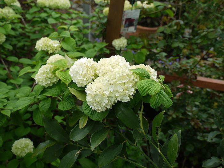 オオデマリ(大手鞠)が咲きだした。2017年-10.jpg