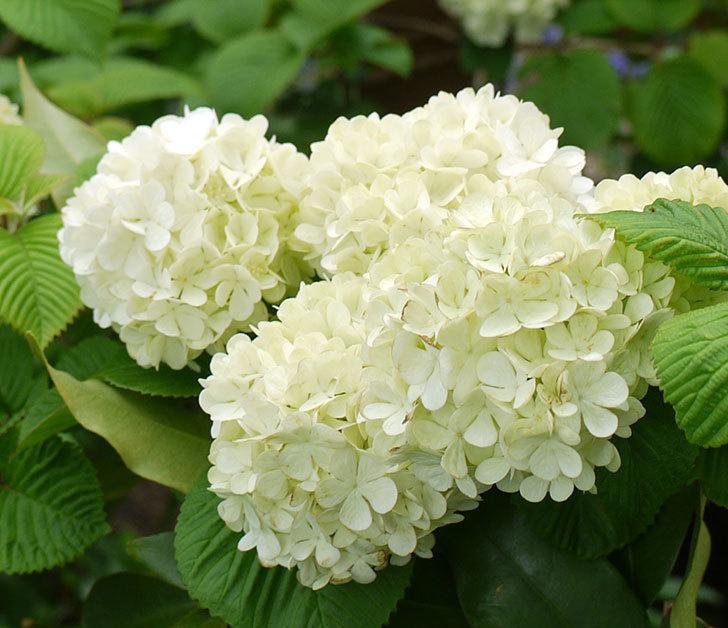 オオデマリ(大手鞠)が咲きだした。2017年-11.jpg