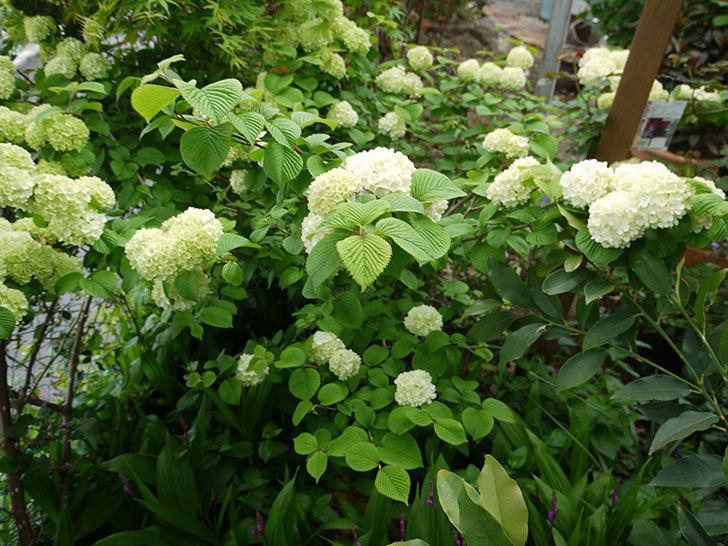 オオデマリ(大手鞠)が咲きだした。2017年-15.jpg