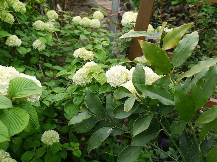 オオデマリ(大手鞠)が咲きだした。2017年-6.jpg