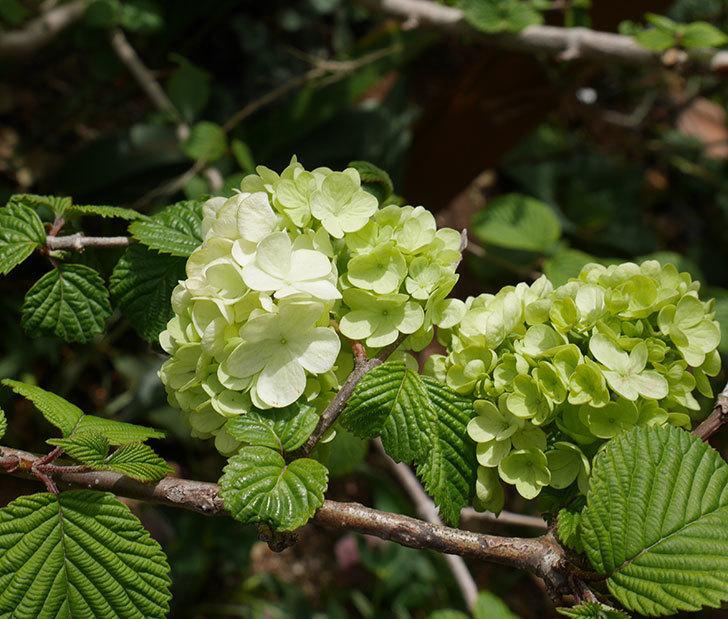 オオデマリ(大手鞠)が少し咲いた。2019年-1.jpg