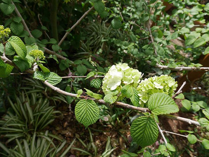 オオデマリ(大手鞠)が少し咲いた。2019年-2.jpg
