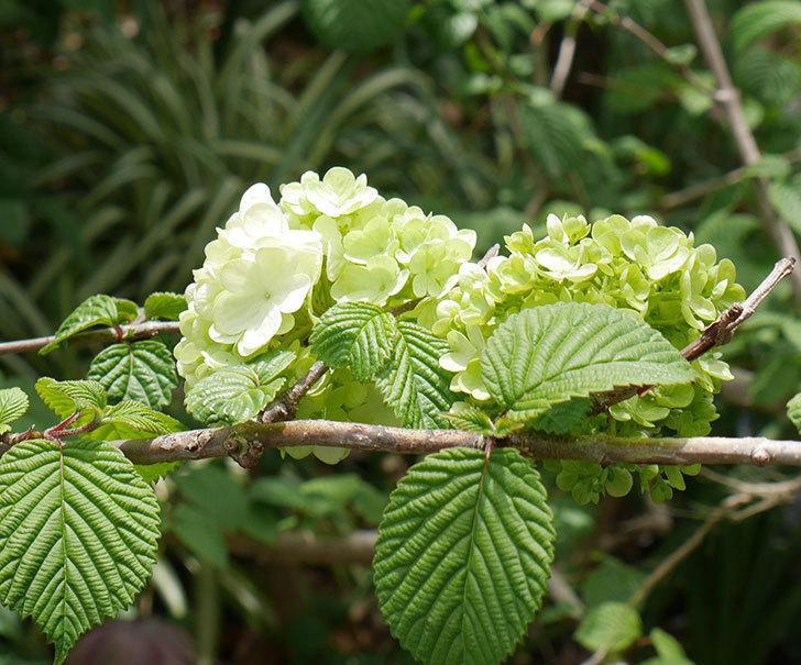 オオデマリ(大手鞠)が少し咲いた。2019年-3.jpg